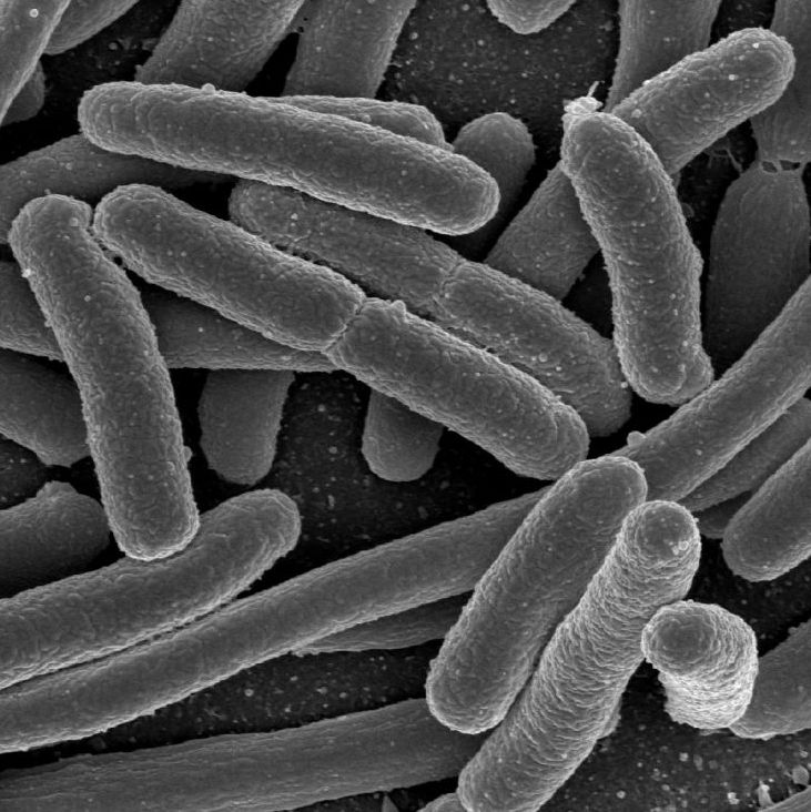a study on genetically engineering the e coli bacteria Genetic engineers have designed strains of e coli bacteria that can  a research  fellow in genetics at harvard medical school in boston and.